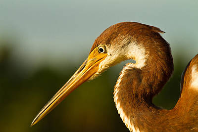 Reddish Egret In Shark Valley Florida Poster by Andres Leon