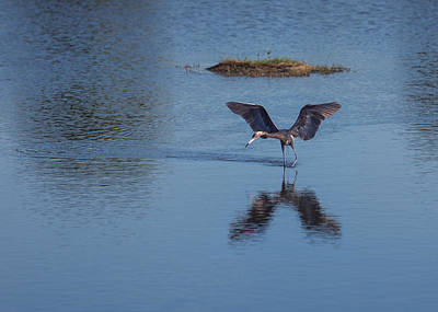 Reddish Egret Looking For Lunch Poster by John M Bailey
