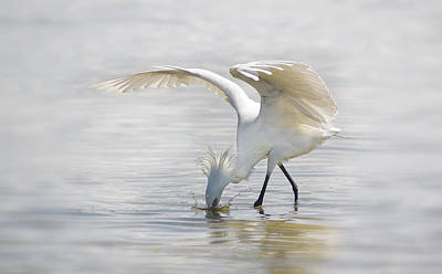 Reddish Egret White Morph Fishing. Poster