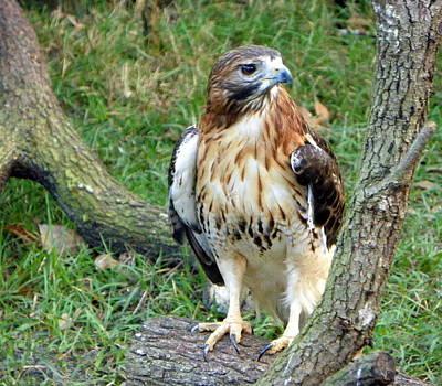 Redtail Hawk On Oak Poster by Sheri McLeroy