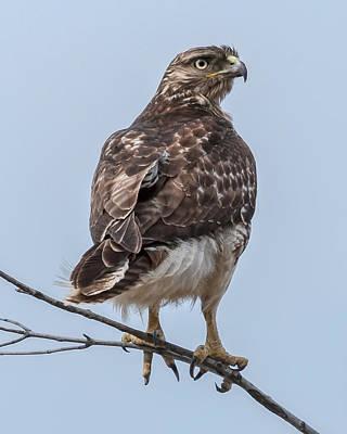 Redtail Hawk Portrait Poster