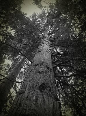 Redwood Tree Poster