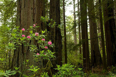 Redwood Trees And Rhododendron Flowers Poster