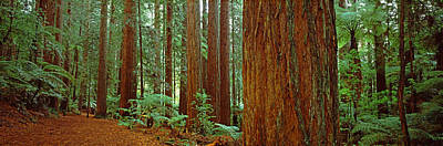 Redwoods Tree In A Forest Poster