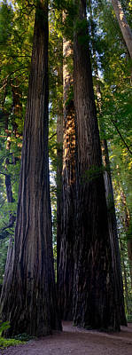 Redwoods Vertical Panorama Poster