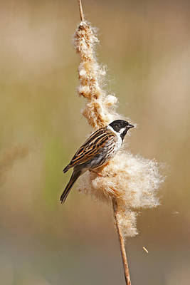 Poster featuring the photograph Reed Bunting On Reed Mace. by Paul Scoullar