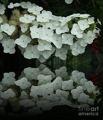 Reflection Of White Hydrangea Poster by Christiane Schulze Art And Photography