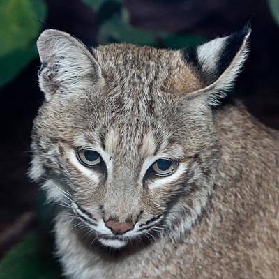 Reflective Bobcat Poster