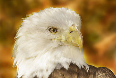 Poster featuring the photograph Regal Eagle  by Brian Cross