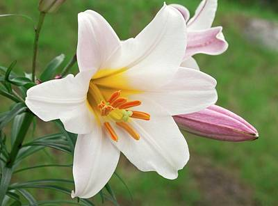 Regal Lily (lilium Regale) Poster by Ann Pickford