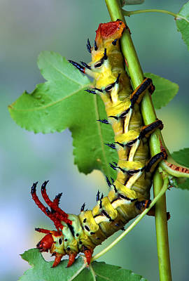 Regal Moth Caterpillar Poster