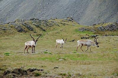 Reindeer  Poster by Erlendur Gudmundsson