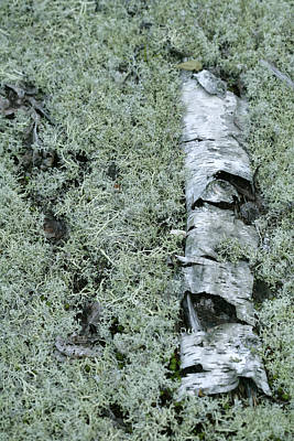 Reindeer Moss Poster by Science Stock Photography