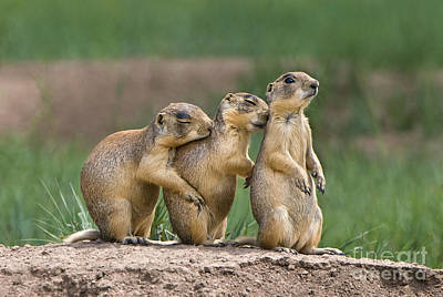 Poster featuring the photograph Relaxing Utah Prairie Dogs Cynomys Parvidens Wild Utah by Dave Welling