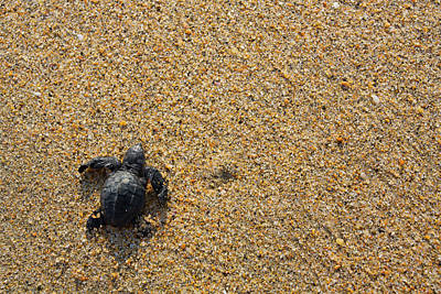 Releasing Green Sea Turtle, Hotelito Poster by Douglas Peebles