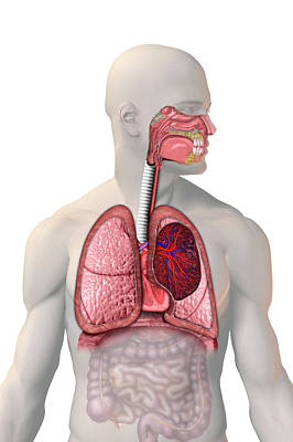 Respiratory System Poster by Carol & Mike Werner