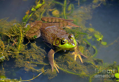 Poster featuring the photograph Resting Bronze Frog by Kathy Baccari