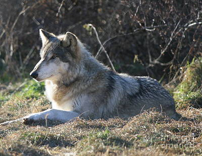 Resting Gray Wolf Poster by Neal Eslinger