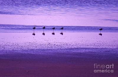 Avocets Resting In The Sunset Poster
