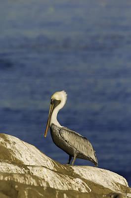 Resting Pelican Poster
