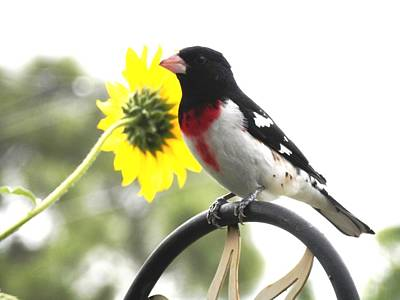Resting Rose Breasted Grosbeak Poster