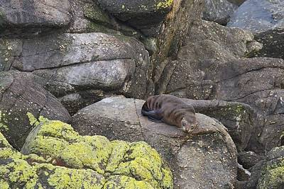Poster featuring the photograph Resting Seal by Stuart Litoff