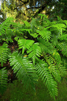 Resurrection Fern, Pleopeltis Poster