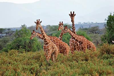 Reticulated Giraffes, Samburu National Poster