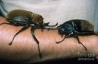 Rhinoceros Beetles Poster by Gregory G. Dimijian, M.D.