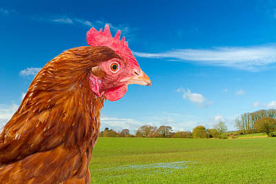 Rhode Island Red Chicken In A Green Field With A Bright Blue Sky Poster by Fizzy Image