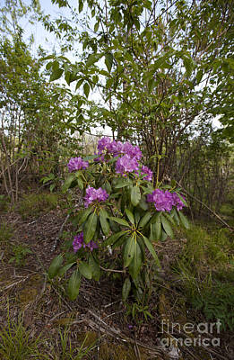 Rhododendron 2 Poster by Jonathan Welch