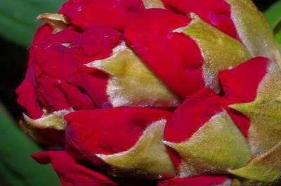 Rhododendron Bud Poster
