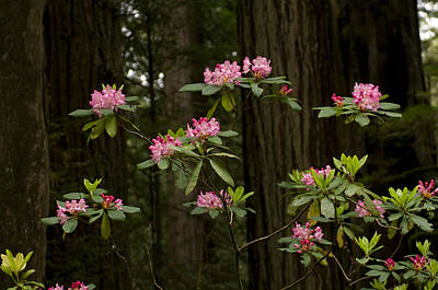 Rhododendron Flowers And Redwood Trees Poster by Panoramic Images