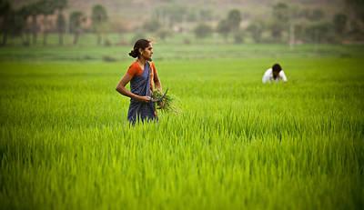 Rice Harvest Poster