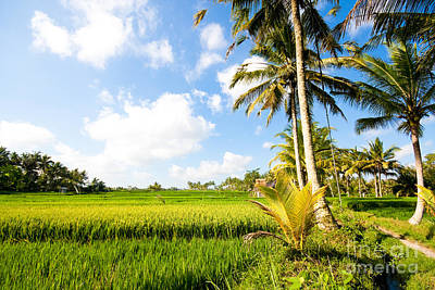 Rice Paddy Fields In Ubud Bali Indonesia Poster