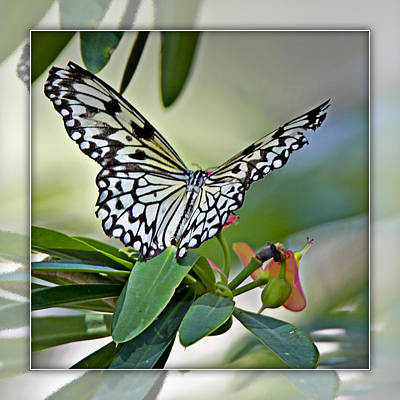 Rice Paper Butterfly 2b Poster by Walter Herrit