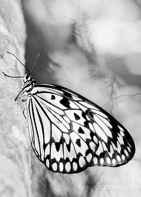 Rice Paper Butterfly Hanging On Poster