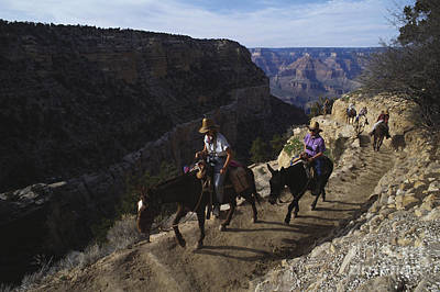 Riding Mules Through The Grand Canyon Poster by Mark Newman
