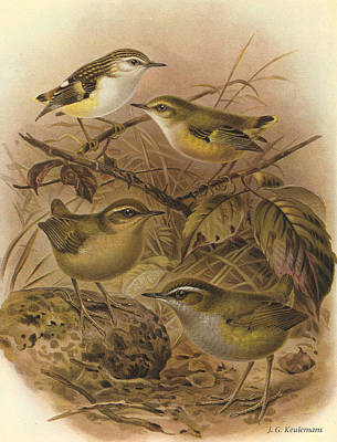 Rifleman Rock Wren And Bush Wren Poster
