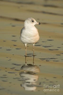 Ring-billed Gull Poster by John Shaw