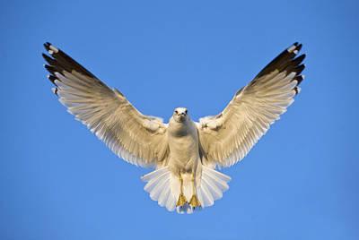 Ring Billed Gull Larus Delawarensis Poster