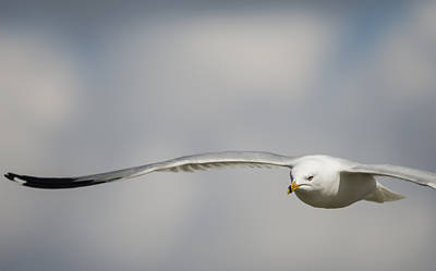 Ring Billed Gull On A Mission Poster by Loree Johnson