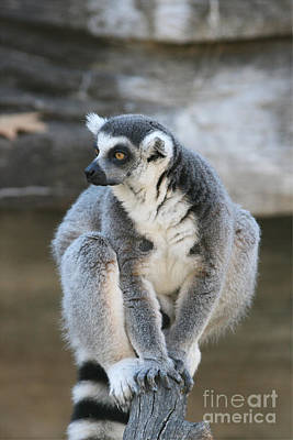 Poster featuring the photograph Ring-tailed Lemur #3 by Judy Whitton