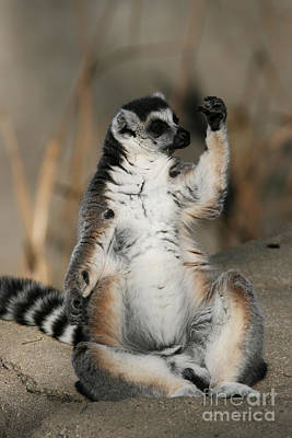 Poster featuring the photograph Ring-tailed Lemur by Judy Whitton