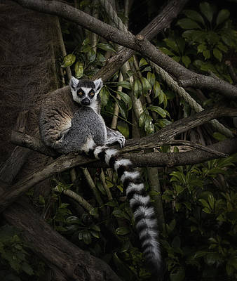 Poster featuring the photograph Ring Tailed Lemur by Kim Andelkovic