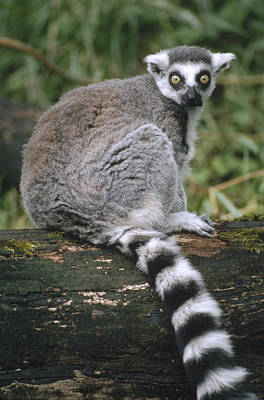 Ring-tailed Lemur Portrait Madagascar Poster by Gerry Ellis
