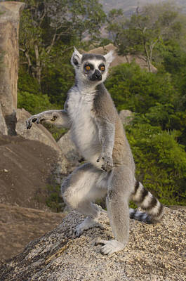 Ring-tailed Lemur Standing Madagascar Poster by Pete Oxford