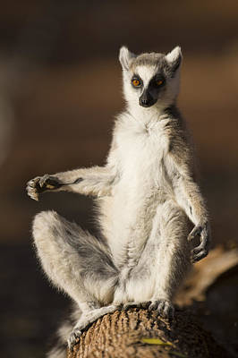 Ring-tailed Lemur Sunning Berenty Poster by Suzi Eszterhas