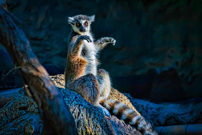 Ring-tailed Lemur Poster by Tim Stanley