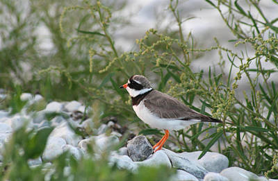 Ringed Plover On Rocky Shore Poster